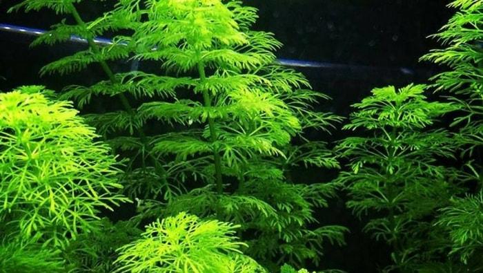 Limnophila sessiflora la pianta acquatica per tutti gli for Vasca per tartaruga acquatica