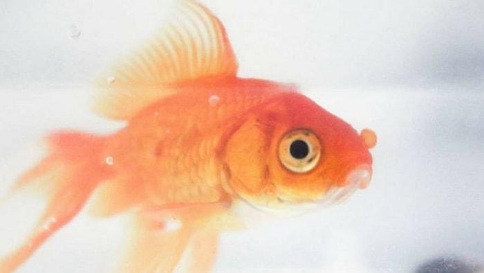 Pesci rossi carassius auratus i pi famosi del mondo for Dove comprare pesci rossi