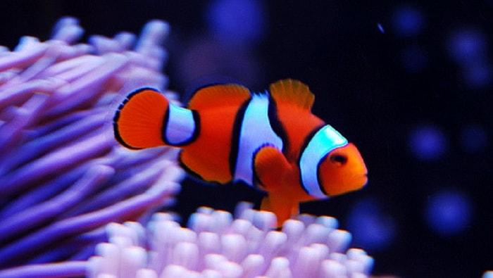 Vero pesce pagliaccio percula il pesce pagliaccio per for Immagini pesce pagliaccio